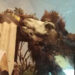 Грустная история одного пьющего верблюда